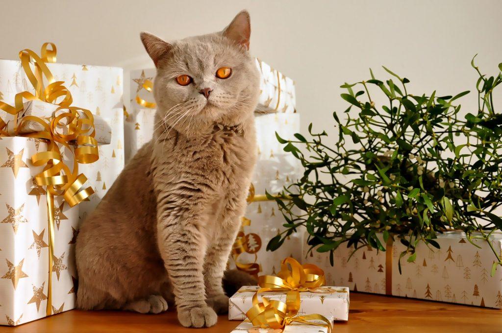 British Shorthair assis au milieu de paquets de Noël